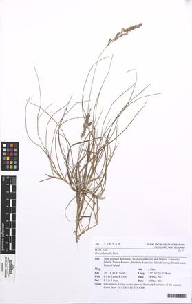 Poa polyphylla, AK356559, N/A