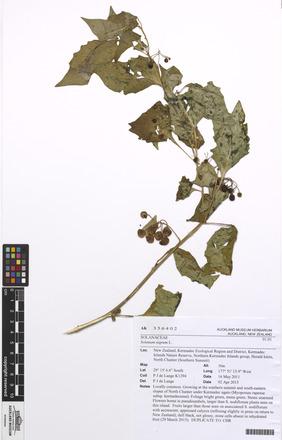 Solanum nigrum, AK356402, N/A