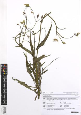 Sonchus oleraceus, AK356527, N/A