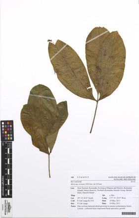 Melicope ternata, AK356605, N/A