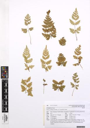 Pteris comans P. saxatilis, AK353269, N/A