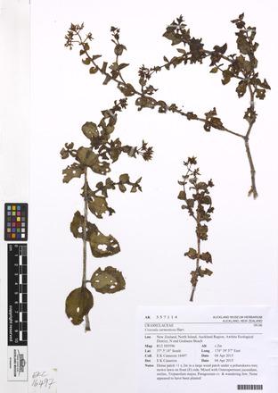 Crassula sarmentosa, AK357114, © Auckland Museum CC BY