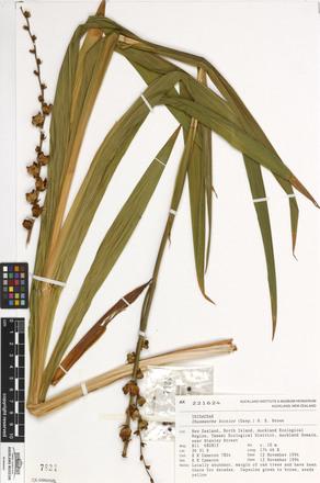 Chasmanthe bicolor, AK221624, N/A