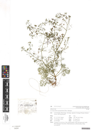 Cyclospermum leptophyllum, AK355562, N/A