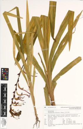 Chasmanthe bicolor, AK236612, N/A