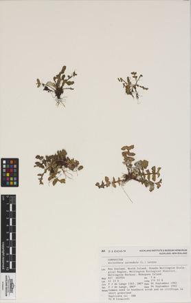 Arctotheca calendula, AK210069, N/A