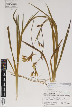 Sparaxis bulbifera, AK277945, N/A