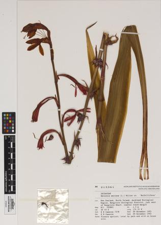Watsonia meriana 'Bulbillifera', AK215361, N/A
