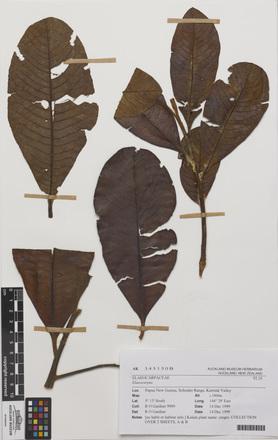 Elaeocarpus, AK345150, N/A