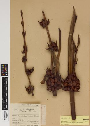 Watsonia meriana 'Bulbillifera', AK35830, N/A