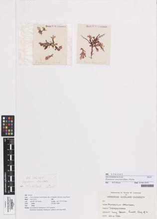 Hymenena variolosa, AK336242, N/A