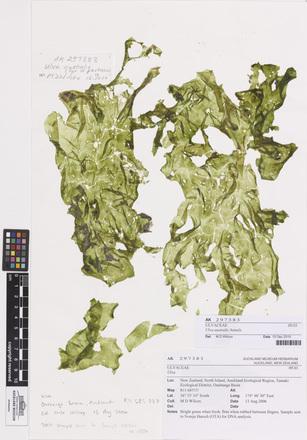 Ulva australis, AK297383, © Auckland Museum CC BY