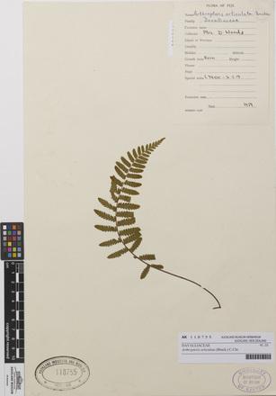 Arthropteris articulata, AK118755, N/A