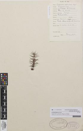 Euphorbia splendens, AK118906, N/A