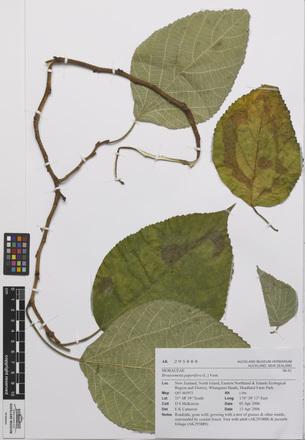 Broussonetia papyrifera, AK295888, N/A