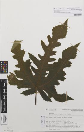 Broussonetia papyrifera, AK177658, N/A