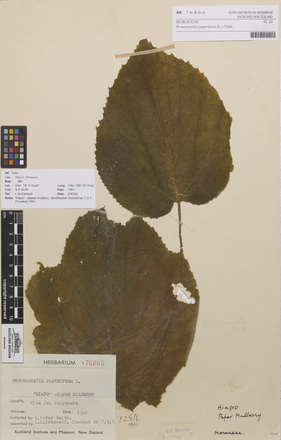 AK76866-a, Broussonetia papyrifera