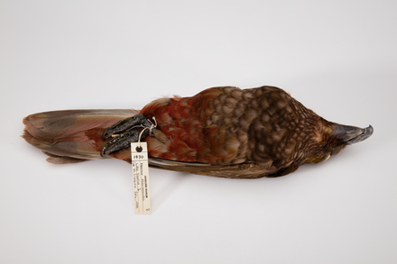 Nestor meridionalis, LB1430, © Auckland Museum CC BY