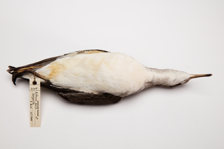 Puffinus gavia, LB2109, © Auckland Museum CC BY