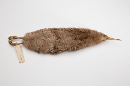 Apteryx owenii; LB2235; © Auckland Museum CC BY