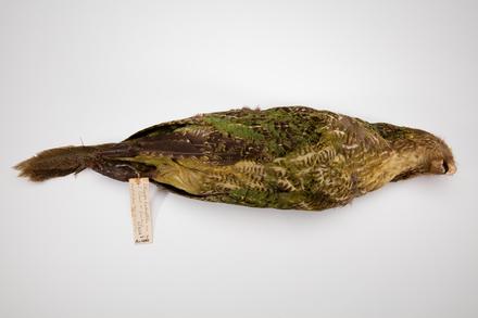 Strigops habroptilus, LB2404, © Auckland Museum CC BY