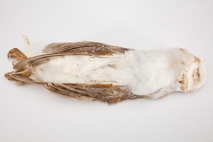 Tyto alba, LB3341, © Auckland Museum CC BY