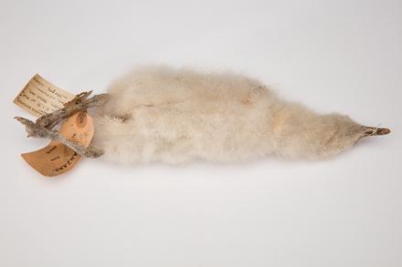 Catharacta maccormicki, LB3444, © Auckland Museum CC BY
