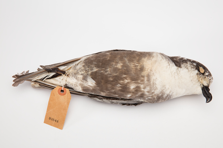 Pterodroma inexpectata; LB3548; © Auckland Museum CC BY