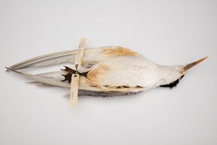 Sterna bergii, LB4929, © Auckland Museum CC BY