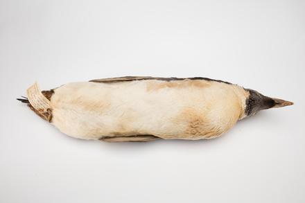 Eudyptes chrysolophus; LB5058; © Auckland Museum CC BY