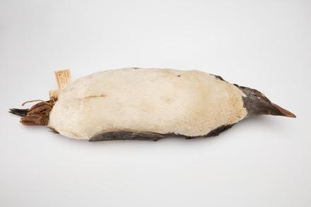 Eudyptes chrysolophus; LB5060; © Auckland Museum CC BY