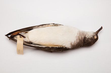 Puffinus gavia, LB5119, © Auckland Museum CC BY