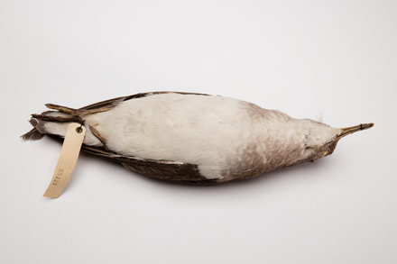 Puffinus gavia, LB5121, © Auckland Museum CC BY
