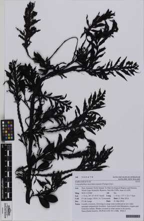 AK360478-a, Carpophyllum maschalocarpum