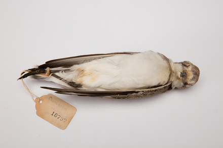 Charadrius leschenaultii, LB10797, © Auckland Museum CC BY