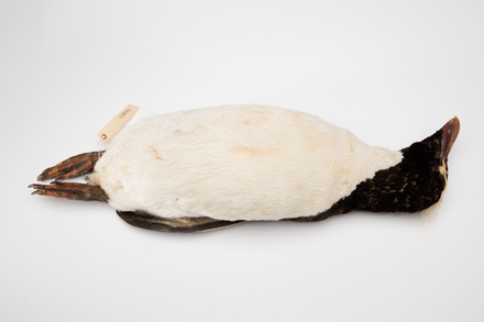 Eudyptes sclateri; LB14781; © Auckland Museum CC BY