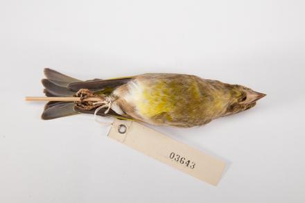 Carduelis chloris, LB3643, © Auckland Museum CC BY