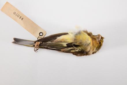 Carduelis chloris, LB4644, © Auckland Museum CC BY