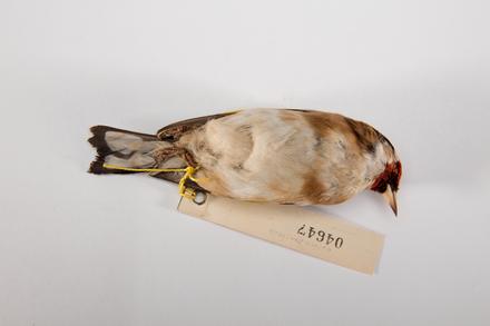 Carduelis carduelis, LB4647, © Auckland Museum CC BY