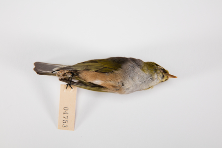 Zosterops lateralis, LB4753, © Auckland Museum CC BY