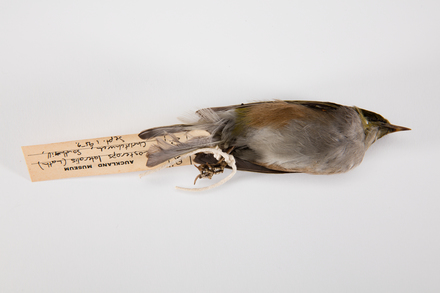 Zosterops lateralis, LB4756, © Auckland Museum CC BY