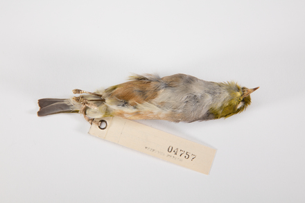 Zosterops lateralis, LB4757, © Auckland Museum CC BY