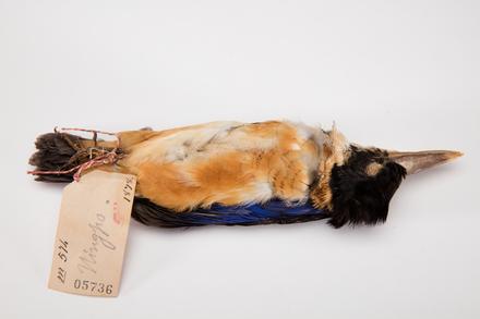 Halcyon coromanda, LB5736, © Auckland Museum CC BY