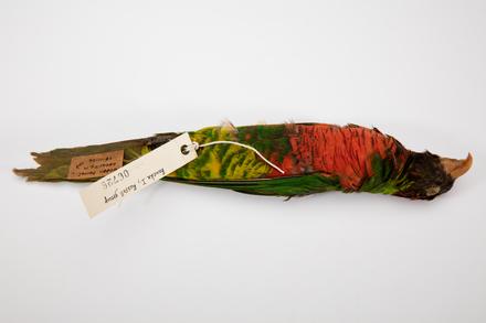 Trichoglossus haematodus, LB6726, © Auckland Museum CC BY
