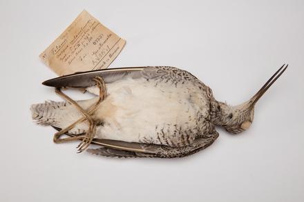 Tringa melanoleuca, LB7337, © Auckland Museum CC BY