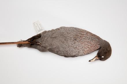 Hymenolaimus malacorhynchos; LB9441; © Auckland Museum CC BY
