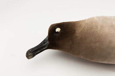Phoebetria palpebrata, LB1387, © Auckland Museum CC BY