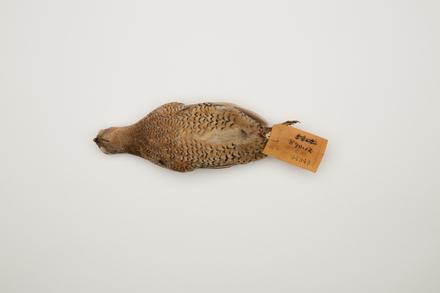 Coturnix ypsilophora, LB4948, © Auckland Museum CC BY