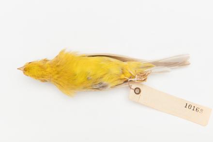 Serinus canaria; LB10168; © Auckland Museum CC BY