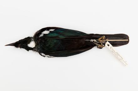Prosthemadera novaeseelandiae; LB1380; © Auckland Museum CC BY